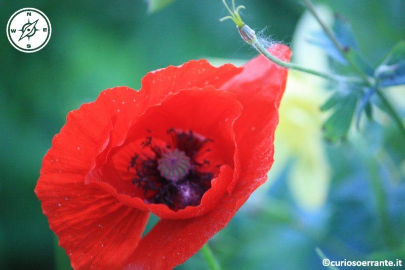 papavero rosso - giardino di Ninfa